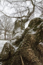 Причудливое дерево под снегом