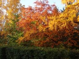 Осенняя лиственница на фоне рябины