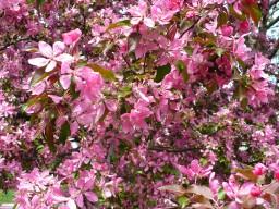 Райская яблоня в цвету