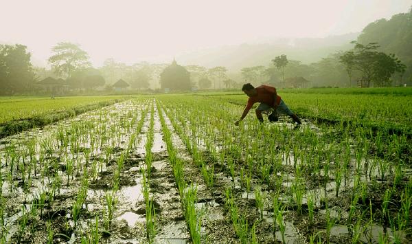 Интересные факты о рисе