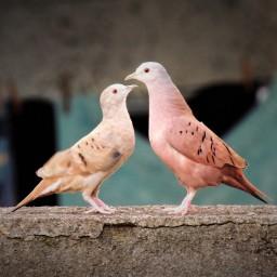 Румяный голубь