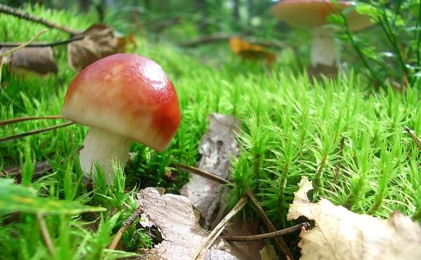 Как определять грибы - Грибникам о грибах