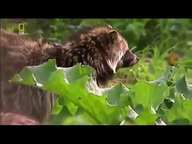 Природа тайги. Мир животных. Амурский тигр (Документальный фильм)