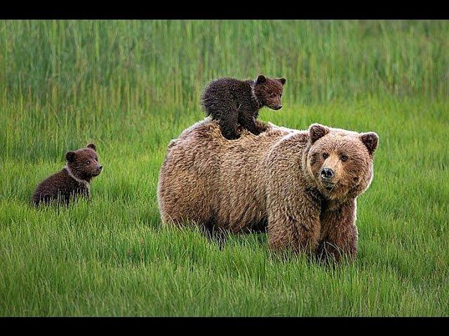 Бурые медведи. Документальный фильм.