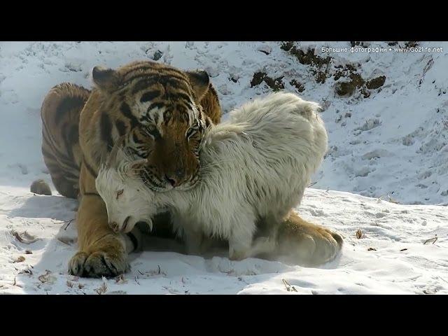 Шоу в китайском зоопарке: тигры убивают козу