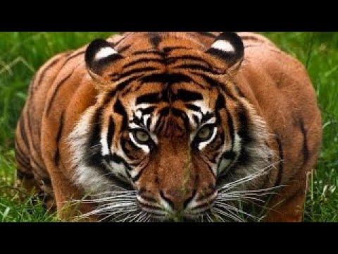 Месть Тигра׃ Нападение на человека. NatGeoWild