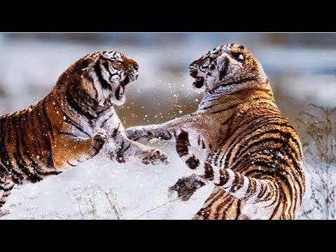 КОРОЛИ УССУРИЙСКИХ ЛЕСОВ. Сибирские тигры на грани вымирания Документальный фильм 2017 - The Best Do