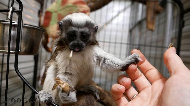 Гала - наш новый крошка-тамарин
