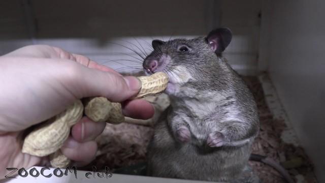 Кто из зверей любит арахис? Массовая раздача.