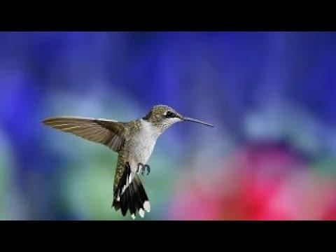 Жизнь Колибри Загодочный Мир Птицы