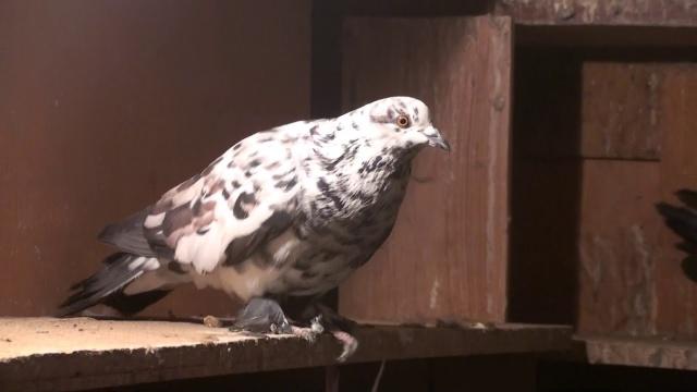 Летные голуби Мелитополя на полигон