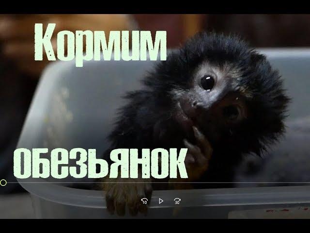 Работа или удовольствие? Как выкормить малыша обезьянки.