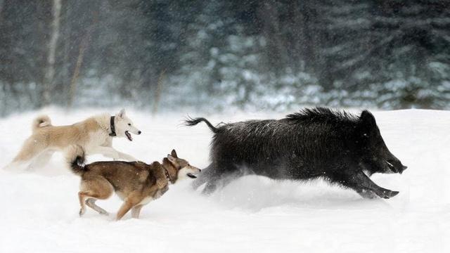 Охота на кабана.