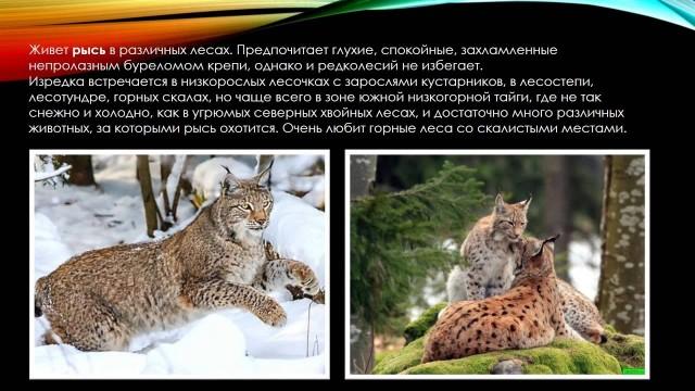 Презентация «Рысь». Окружающий мир, 3 класс. Обитатели леса.