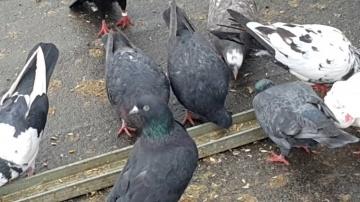 17.12.2017 Антибиотик и новые голуби для сокола.