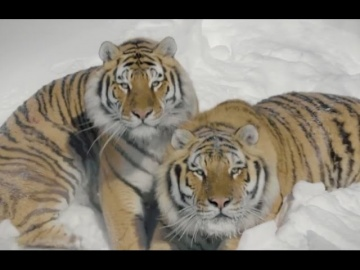 Квадрокоптер Дрон снимает уссурийских тигров (Амурский тигр)