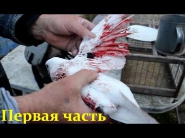 Бакинские бойные голуби. Игра ,Бои и нежданный гость - Первая часть(Vitalie Stirbu/Кишинёв, Молдова)