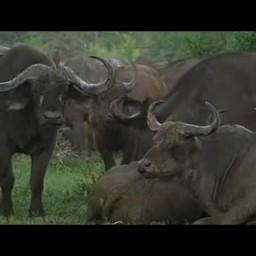 Дикая природа. Буйвол хозяин Африки/ Документальный фильм о буйволах
