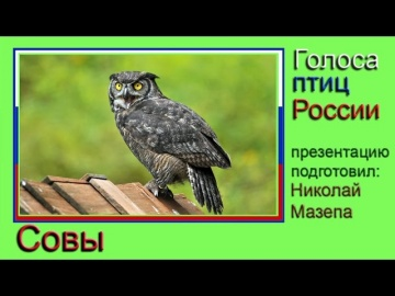 Совы. Голоса птиц России