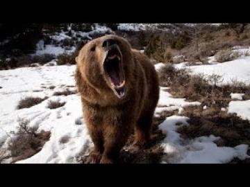 Медведи - Людоеды.Нападение на человека.Док фильм