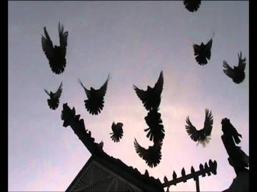 Старониколаевские голуби staronikolaevskie pigeons.avi
