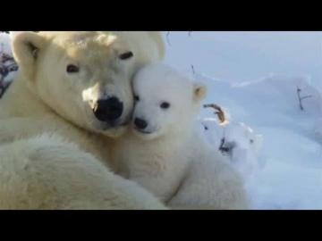 Белые медведи / ne