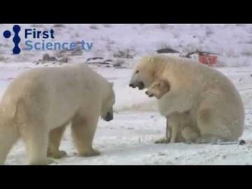 Белые медведи и собаки - странная дружба ...